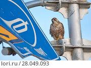 Купить «Saker falcon (Falco cherrug) perched on sign, Sanjiangyuan National Nature Reserve, Qinghai Hoh Xil UNESCO World Heritage Site, Qinghai-Tibet Plateau, Qinghai Province, China.», фото № 28049093, снято 20 августа 2018 г. (c) Nature Picture Library / Фотобанк Лори