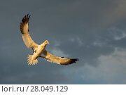 Купить «RF - Gannet (Morus bassanus ) flying, wings spread  coming in to land  in colony,  late evening light,  Saltee Islands,  Ireland. June», фото № 28049129, снято 20 августа 2018 г. (c) Nature Picture Library / Фотобанк Лори