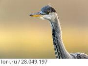 Купить «Grey Heron (Ardea cinerea) close-up portrait. Valkenhorst nature reserve, Valkenswaard, The Netherlands June», фото № 28049197, снято 19 марта 2018 г. (c) Nature Picture Library / Фотобанк Лори