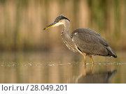 Купить «Grey Heron (Ardea cinerea) standing at the edge of a pond. Valkenhorst nature reserve, Valkenswaard, The Netherlands June», фото № 28049201, снято 19 марта 2018 г. (c) Nature Picture Library / Фотобанк Лори