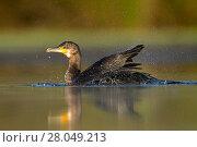 Купить «Cormorant (Phalacrocorax carbo) bathing in a pond Valkenhorst nature reserve, Valkenswaard, The Netherlands. July», фото № 28049213, снято 19 августа 2018 г. (c) Nature Picture Library / Фотобанк Лори