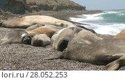 Купить «Seal rookery on the coastline of Atlantic Ocean. Punta Ninfas place, the South of Argentina», видеоролик № 28052253, снято 10 февраля 2015 г. (c) Алексей Кузнецов / Фотобанк Лори