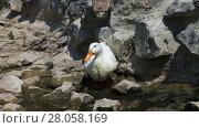 Купить «White Duck in a brook», видеоролик № 28058169, снято 4 августа 2013 г. (c) Алексей Кузнецов / Фотобанк Лори