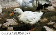 Купить «Duck Couple in a pond closeup», видеоролик № 28058377, снято 11 августа 2013 г. (c) Алексей Кузнецов / Фотобанк Лори