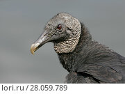 Купить «Black vulture (Coragyps atratus) portrait, Everglades National Park, Florida, USA. February.», фото № 28059789, снято 19 мая 2019 г. (c) Nature Picture Library / Фотобанк Лори