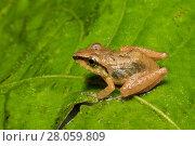 Купить «Cachabi robber frog (Pristimantis  achatinus) adult on leaf, Mindo,  Ecuador. June.», фото № 28059809, снято 26 мая 2019 г. (c) Nature Picture Library / Фотобанк Лори