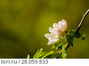 Купить «Spring apple flowers in bloom lit by soft sunlight, spring flower background, free space for text», фото № 28059833, снято 4 июня 2017 г. (c) Зезелина Марина / Фотобанк Лори