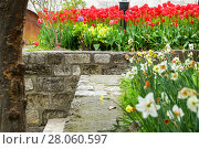 Red tulips and narcissuses blossom in the park at a stone ladder. Стоковое фото, фотограф Елена Антипина / Фотобанк Лори