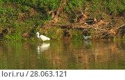 Купить «Little egret (Egretta garzetta)», видеоролик № 28063121, снято 19 декабря 2017 г. (c) BestPhotoStudio / Фотобанк Лори