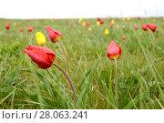 Цветущие степные тюльпаны. Калмыкия. Стоковое фото, фотограф Ирина Борсученко / Фотобанк Лори
