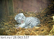 Купить «Newborn female white or bleached tiger cub (Panthera tigris), 10 days old,  her parents are hybrid from Siberian tiger and Bengal tiger, captive, France», фото № 28063537, снято 21 марта 2018 г. (c) Nature Picture Library / Фотобанк Лори