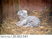 Купить «Newborn female white or bleached tiger cub (Panthera tigris), aged 10 days. Her parents are hybrids crossed from a Siberian tiger and a Bengal tiger, captive, France.», фото № 28063541, снято 21 марта 2018 г. (c) Nature Picture Library / Фотобанк Лори