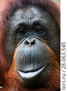 Купить «Bornean orangutan (Pongo pygmaeus) female head portrait, captive.  Parc Beauval  Zoo, France.», фото № 28063545, снято 17 июля 2018 г. (c) Nature Picture Library / Фотобанк Лори