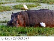 Купить «Hippopotamus (Hippoptamus amphibius) eating grass  with Cattle egrets (Bubulcus ibis) in Amboseli National Park, Kenya.», фото № 28063577, снято 11 июля 2020 г. (c) Nature Picture Library / Фотобанк Лори