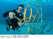 Купить «Diver fragmenting a piece of Staghorn coral (Acropora cervicornis) growing, hung on coral propagation tree, as part of a coral conservation nursery project...», фото № 28063609, снято 22 марта 2018 г. (c) Nature Picture Library / Фотобанк Лори
