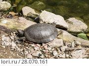 Купить «Болотная черепаха на берегу пруда греется на солнце», фото № 28070161, снято 26 мая 2016 г. (c) Наталья Волкова / Фотобанк Лори