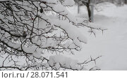 Купить «branches of bush covered with snow», видеоролик № 28071541, снято 31 января 2018 г. (c) Володина Ольга / Фотобанк Лори
