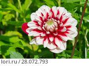 Купить «Красно-белый георгин (лат. Dаhlia) цветет в саду», фото № 28072793, снято 19 июля 2017 г. (c) Елена Коромыслова / Фотобанк Лори