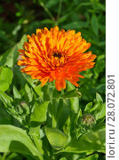 Купить «Календула махровая цветет в саду», фото № 28072801, снято 19 июля 2017 г. (c) Елена Коромыслова / Фотобанк Лори