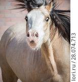 Купить «Смешной портрет Уэльского пони с выразительными глазами», фото № 28074713, снято 1 мая 2017 г. (c) Абрамова Ксения / Фотобанк Лори