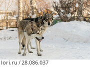 Beautiful male and female of Saarloos wolfhound in winter park. Стоковое фото, фотограф Юлия Машкова / Фотобанк Лори