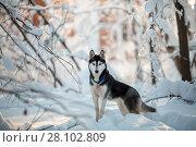Купить «Siberian Husky dog walking at park on winter day.», фото № 28102809, снято 6 февраля 2018 г. (c) Julia Shepeleva / Фотобанк Лори