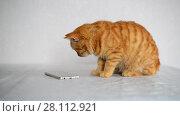 Купить «Red-haired kitten plays on smartphone with a computer game mouse», видеоролик № 28112921, снято 2 января 2018 г. (c) Володина Ольга / Фотобанк Лори