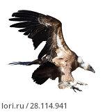 Купить «Griffon vulture in flight», фото № 28114941, снято 21 октября 2018 г. (c) Яков Филимонов / Фотобанк Лори