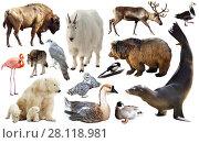 Купить «american animals isolated on white», фото № 28118981, снято 13 декабря 2018 г. (c) Яков Филимонов / Фотобанк Лори