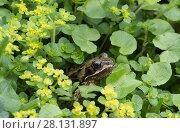 Купить «European common frog (Rana temporaria) hidden in vegetation, Clare Glen, Tandragee, County Armagh, Northern Ireland.», фото № 28131897, снято 21 августа 2018 г. (c) Nature Picture Library / Фотобанк Лори
