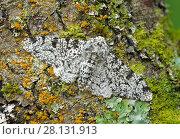 Купить «Peppered moth (Biston betularia) camouflaged among lichens,  Banbridge, County Down, Northern Ireland, June.», фото № 28131913, снято 24 мая 2018 г. (c) Nature Picture Library / Фотобанк Лори