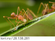 Купить «Weaver ants (Oecophylla smaragdina) working building nest, using larva to produce silk which glues leaves together, Sabah, Malaysian Borneo.», фото № 28138281, снято 25 марта 2018 г. (c) Nature Picture Library / Фотобанк Лори