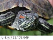 Купить «Черепаха крупным планом», фото № 28138649, снято 24 мая 2017 г. (c) Яна Королёва / Фотобанк Лори