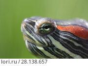 Купить «Голова черепахи крупным планом», фото № 28138657, снято 24 мая 2017 г. (c) Яна Королёва / Фотобанк Лори