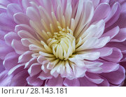 Купить «Сиреневая хризантема, макро», фото № 28143181, снято 8 марта 2018 г. (c) Наталья Волкова / Фотобанк Лори
