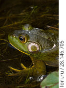 Купить «Bullfrog (Lithobates catesbeiana) in pond shallows, among lily pads, Connecticut, USA», фото № 28146705, снято 21 октября 2018 г. (c) Nature Picture Library / Фотобанк Лори