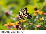 Купить «Eastern Tiger Swallowtail Butterfly (Papilio glaucus) nectaring on Zinnia in farm garden,  Connecticut, USA (NPL)», фото № 28146721, снято 13 декабря 2018 г. (c) Nature Picture Library / Фотобанк Лори