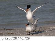 Купить «Pair of Royal terns (Thalasseus maximus) on beach displaying mating behaviour. Mullet Key, St. Petersburg, Florida, USA.», фото № 28146729, снято 19 января 2019 г. (c) Nature Picture Library / Фотобанк Лори