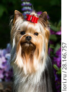 Купить «Yorkshire terrier dog with long hair in show condition, standing in garden, USA.», фото № 28146757, снято 18 июля 2018 г. (c) Nature Picture Library / Фотобанк Лори