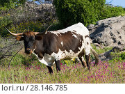 Купить «Texas Longhorn cow in spring wildflowers in hilll country ranchland, Santa Barbara County, California, USA.», фото № 28146785, снято 23 января 2019 г. (c) Nature Picture Library / Фотобанк Лори