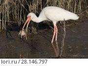 Купить «White ibis (Eudocimus albus) in winter plumage, eating Atlantic blue crab (Callinectes sapidus), at edge of saltwater lagoon. St. Petersburg, Florida, USA», фото № 28146797, снято 20 марта 2019 г. (c) Nature Picture Library / Фотобанк Лори