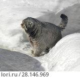 Купить «Manul cat (Felis cat)», фото № 28146969, снято 9 марта 2018 г. (c) Валерия Попова / Фотобанк Лори
