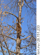 Купить «Енот (Procyon lotor) лезет на дерево», фото № 28151233, снято 9 марта 2018 г. (c) Валерия Попова / Фотобанк Лори