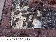 Купить «Крысы в вольере», фото № 28151817, снято 2 января 2016 г. (c) Кекяляйнен Андрей / Фотобанк Лори