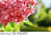 Купить «Сирень в весеннем саду, цветы крупным планом», фото № 28154057, снято 15 июня 2017 г. (c) Зезелина Марина / Фотобанк Лори