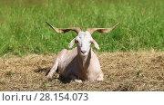 Купить «White goat lies on the hay in the middle of the green lawn on a sunny summer day», видеоролик № 28154073, снято 2 августа 2016 г. (c) Алексей Кузнецов / Фотобанк Лори