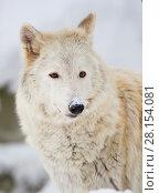 Купить «Тундровый волк», фото № 28154081, снято 21 января 2016 г. (c) Галина Савина / Фотобанк Лори