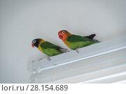 Купить «Parrots of the breed are in love», фото № 28154689, снято 8 марта 2018 г. (c) Типляшина Евгения / Фотобанк Лори