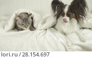 Купить «Cat with a dog lies under a blanket, dog jumps off the bed stock footage video», видеоролик № 28154697, снято 1 марта 2018 г. (c) Юлия Машкова / Фотобанк Лори