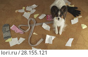 Купить «Dog Papillon arranged a pogrom in house scattered things and tore the paper», фото № 28155121, снято 16 января 2019 г. (c) Юлия Машкова / Фотобанк Лори